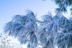 Een tak van pijnboom die met rijp op een blauwe achtergrond wordt behandeld royalty-vrije stock fotografie