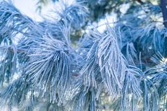 Een tak van pijnboom die met rijp op een blauwe achtergrond wordt behandeld stock afbeeldingen