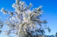 Een tak van pijnboom die met rijp op een blauwe achtergrond wordt behandeld royalty-vrije stock foto's