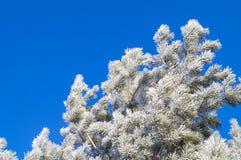 Een tak van pijnboom die met rijp op een blauwe achtergrond wordt behandeld stock foto