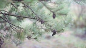 Een tak van pijnboom met kegels die in de wind tegen dag slingeren stock video