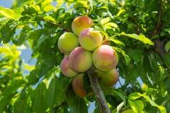 Een tak van pruim op de boom Stock Fotografie