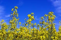 Een tak van raapzaad in een het bloeien fase tegen een blauwe hemel Biologische brandstof stock foto