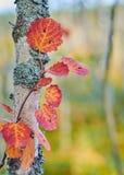 Een tak van rode de herfstbladeren van esp Populustremula Sluit omhoog royalty-vrije stock fotografie