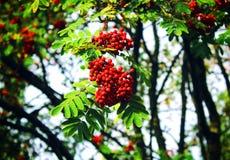 Een tak van rode lijsterbes op de boom royalty-vrije stock foto's