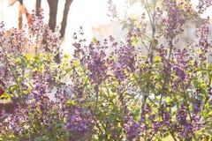 Een tak van sirenes op een boom in een park Mooie bloemen van lilac boom bij de lente Achtergrond Royalty-vrije Stock Afbeeldingen