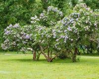 Een tak van sirenes op een boom in een tuin, park Stock Afbeeldingen