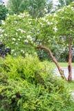 Een tak van sirenes op een boom in een tuin, park Royalty-vrije Stock Afbeeldingen