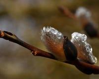 Een tak van stromende wilgen Salix in de lente stock foto's