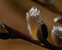 Een tak van stromende wilgen Salix in de lente royalty-vrije stock foto