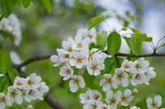 Een tak van een tot bloei komende perenboom met witte kleine bloemen Het gevoelige bloeien en de heady geur van de lente Royalty-vrije Stock Fotografie