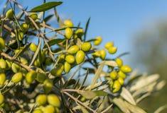 Een tak van vers huis maakte groene olijven in Griekenland Stock Afbeeldingen