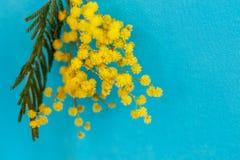 Een takje van gele mimosa op een blauwe achtergrond Stock Foto's