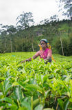 Een tamil vrouw van Sri Lanka breekt theebladen Stock Foto's