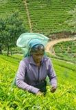 Een tamil vrouw van Sri Lanka breekt theebladen Stock Foto