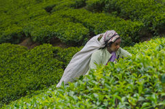 Een tamil vrouw van Sri Lanka breekt theebladen Stock Fotografie