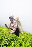 Een tamil vrouw van Sri Lanka breekt theebladen Stock Afbeelding