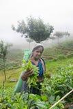 Een tamil vrouw van Sri Lanka breekt theebladen Royalty-vrije Stock Foto's