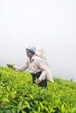 Een tamil vrouw van Sri Lanka breekt theebladen Royalty-vrije Stock Foto