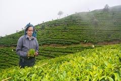 Een tamil vrouw van Sri Lanka breekt theebladen Stock Afbeeldingen
