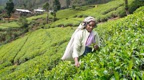 Een tamil vrouw van Sri Lanka breekt theebladen Royalty-vrije Stock Fotografie