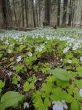 Een tapijt van de lente bloeit in het bos Stock Foto