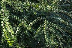 Een tapijt van kleine groene bladeren van pileata van kamperfoelielonicera Elegante Natuurlijke Achtergrond royalty-vrije stock afbeelding