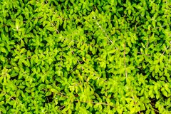 Een tapijt van sedum stock foto