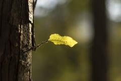 Een teder groen blad en zonlicht Stock Fotografie
