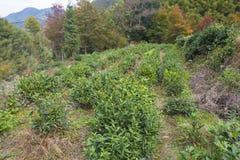 Een theeboom op een helling wordt geplant die stock foto's