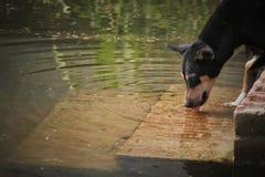 Een thursty drinkwater van de straathond stock foto's