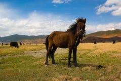Een tibetan paard royalty-vrije stock afbeelding
