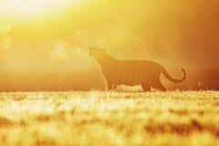 Een tijger in de ochtendzon op een weide Silhouet van de Siberische tijger in de zon De scène van het actiewild, gevaarsdier stock foto's