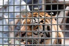 Een tijger in een kooi stock afbeelding
