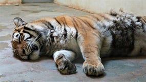 Een tijger in gevangenschap stock foto