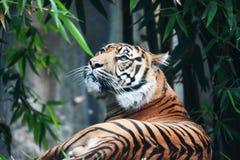 Een tijger met een betekenis van suprematie Stock Afbeeldingen
