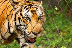 Een Tijger Tussen Indië en China in gevangenschap stock afbeeldingen