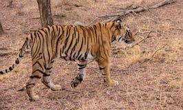 Een Tijger van Bengalen in de Wildernis stock foto
