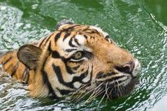 Een tijger in water Royalty-vrije Stock Afbeeldingen