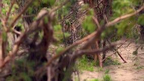 Een tijgerwelp in een struik in dierentuinpark stock video