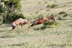 Een Topi-antilope die voor strijd achtervolgen Royalty-vrije Stock Afbeelding