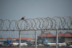 Een tortelduifvogel streek op een ijzerdraad met weerhaken neer en roestig met een achtergrondmening van de vliegtuigterminal van royalty-vrije stock foto's