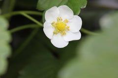 Een tot bloei gekomen trillende witte bloem stock afbeeldingen