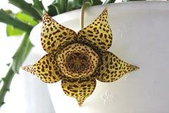 Een tot bloei komende bloem van een stapelia op de achtergrond van een witte pot royalty-vrije stock afbeelding