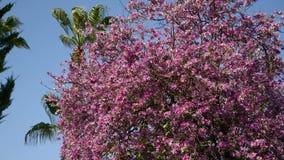 Een tot bloei komende boom onder een duidelijke blauwe hemel Het middenplan De bloemen worden gehoord in de wind stock footage