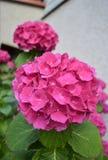 Een tot bloei komende hydrangea hortensiastruik Royalty-vrije Stock Foto