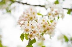 Een tot bloei komende perenboom in de lente Het gevoelige bloeien en de heady geur van de lente Stock Fotografie
