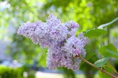 Een tot bloei komende reusachtige lilac tak Stock Foto