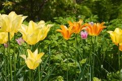 Een tribune van tulpen. Stock Afbeelding