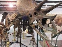 Een Triceratops-Skelet bij de Fossielen & de Mineralen van GeoDecor Royalty-vrije Stock Afbeeldingen